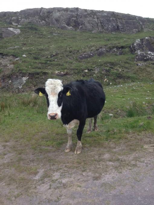 A cow said hi as we passed through a farm