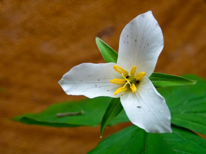 White Trillium Trillium avatum