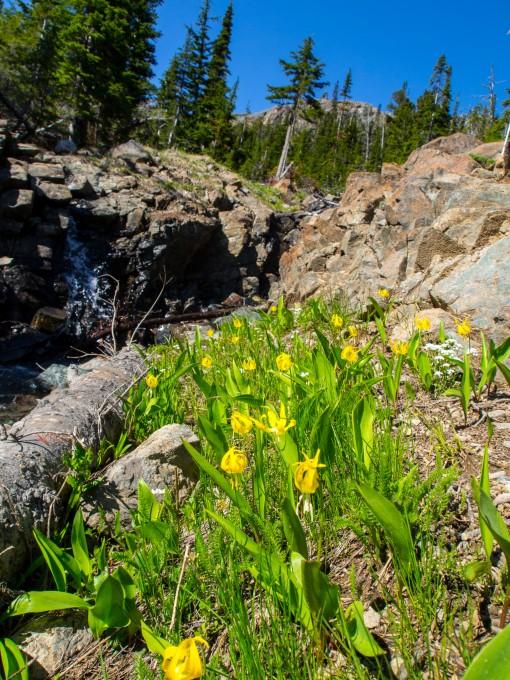 Glacier Lilies were in bloom